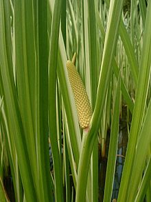 Sweet Flag-Spring Cattail look-a-like.