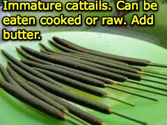 a steamed cattails
