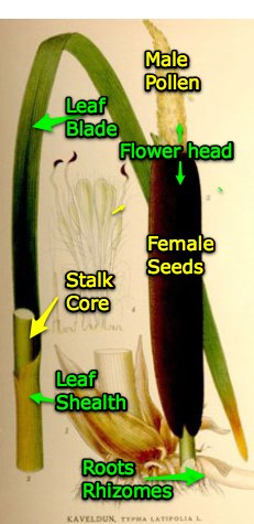 identifying parts of a cattail hole in the fence Drawings of Cattails
